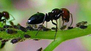 Formica-con-afidi