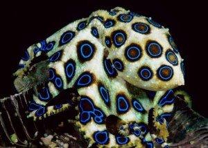 polpo anelli blu