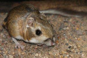 ratto del deserto
