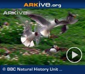 ARKive video - Black-headed gulls mobbing puffins to steal fish