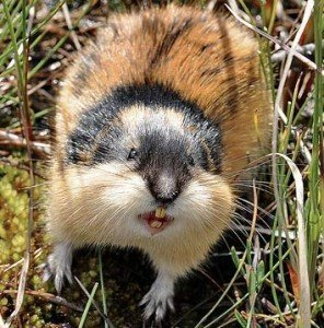 norwegian lemming mostra i denti