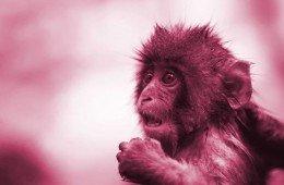 I problemi a riprodursi del macaco