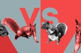 Scoiattolo grigio contro scoiattolo rosso