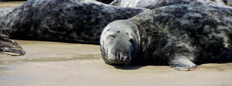 foche higlands