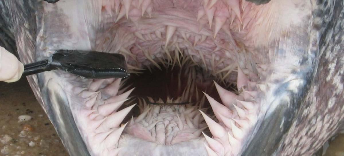 denti tartaruga liuto
